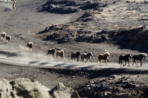 herd_in_iceland
