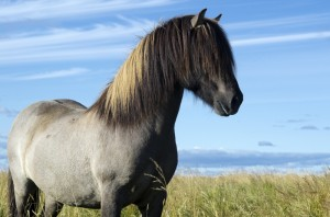 Icelandic_horse